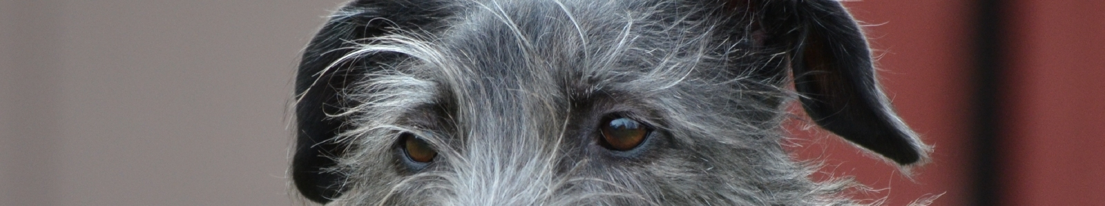 Mearcair Scottish Deerhounds